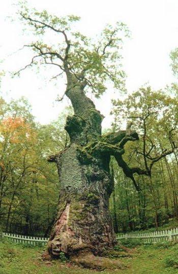 Юзефинський дуб