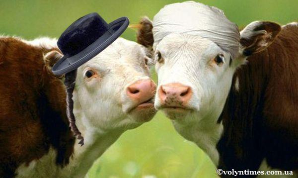 Дві корови і політика